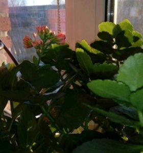Комнатный цветок-денежное дерево.