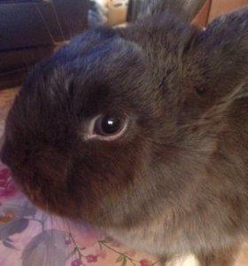 Кролик ( декоративный )