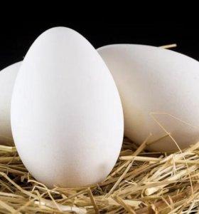 Инкубационное яйцо гуся