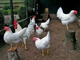 Продаются инкубационные яйца и куры несушек Легорн