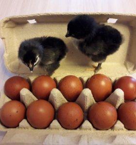 Инкуб. Яйцо+ цыплята породы Маран Черно-Медный
