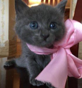 Котёнок бесплатно. Мама Русская голубая