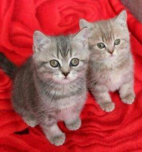 Британские чистокровные котята мраморного окраса
