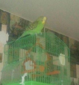 Волнистый попугай.девочка