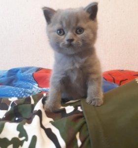 Котенок британец голубой с докуменами