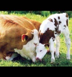 Стельная корова