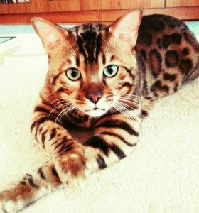 Кот бенгальский  вязка