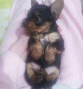 Продам йоркширского терьер щенок 2 мальчика