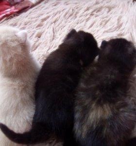Котята редких окрасов .