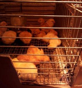 Цыплята на заказ.