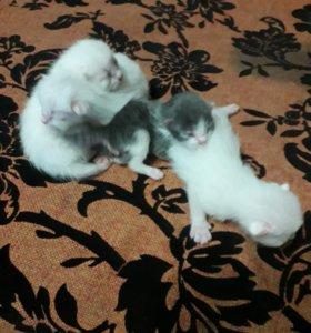 Котята помесь вислоухого и простой кошки.