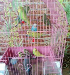 Волнистые попугаи отличный подарок