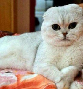 Вязка с выставочным вислоухим котом