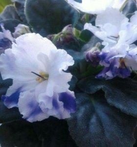 Комнатный цветок фиалка