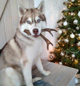 Рога Оленя - натуральное лакомство для собак