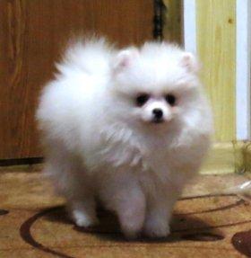 Белые щенки шпица