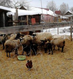 Бараны козы овцы