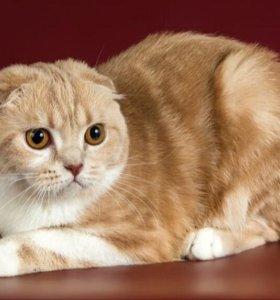 Кошка шотланская вислоухая