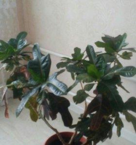 Комнатное растение Кротон