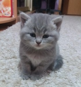 Шотландские котята Страйт и Фолд