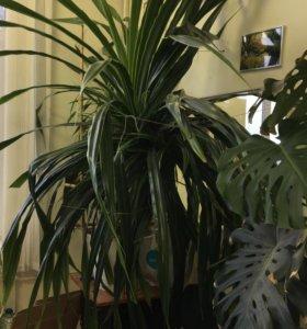 Растение «Панданус» 3 метра и «Монстера» 2 метра