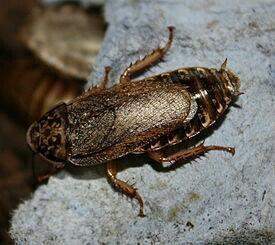 КО - мраморный таракан