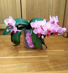 Орхидея фаленопсис (цветущая)