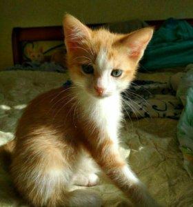 Рыжий котёнок, 2 месяца, мальчик