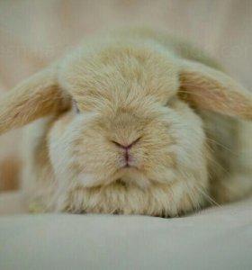 Шикарный карликовый кролик