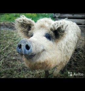 Свиньи и поросята разных пород