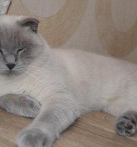 шотландский котик ждет дам на вязку