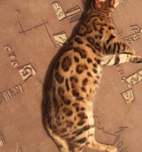 ВЯЗКА БЕНГАЛ!есть котята!