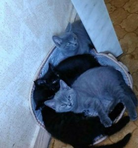 Котята от Бенгальской кошки