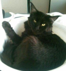 Мейн Кун кот, вязка