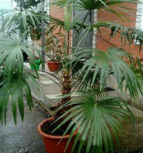 Комнатная пальма трахикарпус.