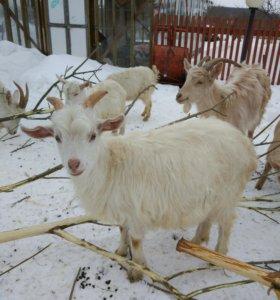 Продаю козлят смешанных пород и молочных коз
