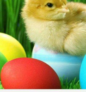 Цыплята несушек голубые яйца