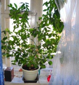 цитрусовое дерево-мандарин