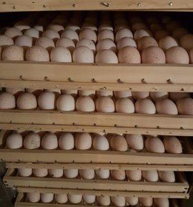 Икубационное яйцо индейки