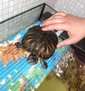 Красноухая черепаха + аквариум на 60 л