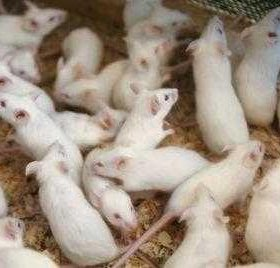 Кормовые мыши ЗАМОРОЗКА