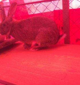 Кролики Фландер