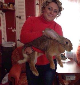 Кролик на вязку.Фландер бельгийский.