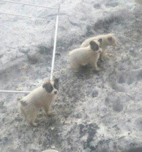 Отдадим срочно щенят