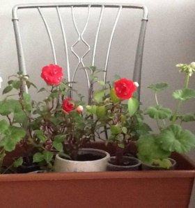 Цветущий бальзамин и пеларгония яблоневый цвет