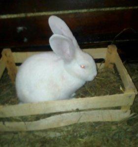 Кролики Ризен + бв.