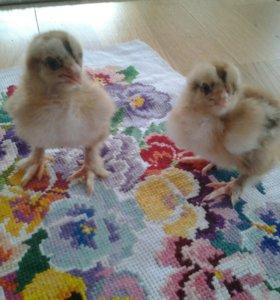 Цыплята,возраст и цены разные.