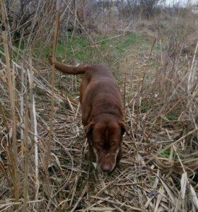 Шарпей +стафф,ищет дамочку,пес умный,.