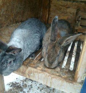Кролики от 1-6мес.