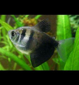 Терненции (аквариумные рыбки)